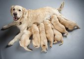 stock photo of lactating  - female dog of golden retriever with puppies - JPG