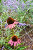 image of prairie coneflower  - Two coneflowers  with one looking like it is pushing the other up to smell other flowers - JPG