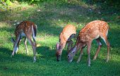 pic of black tail deer  - Three whitetail deer fawns that are in spots on the grass