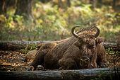 picture of aurochs  - European bison  - JPG