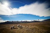 picture of iceland farm  - Icelandic sheep with large horns in a meadow  - JPG