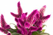 stock photo of cockscomb  - Cockscomb celosia spicata plant on a white background