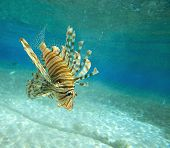 stock photo of lion-fish  - Lion fish - JPG