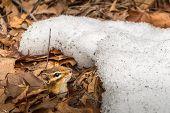 image of chipmunks  - Chipmunk in Winter in it - JPG