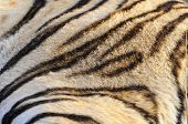 stock photo of bengal cat  - Closeup fur pattern of the Bengal Tiger - JPG