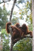 """stock photo of ape-man  - Orang Utan lives in the forests of Southeast Asia, and is considered as one of the closest relative to Man.  Orang Utan means """"Man of the forest"""". ** Note: Visible grain at 100%, best at smaller sizes - JPG"""