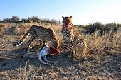 picture of cheetah  - Cheetahs enjoy their feast of a hard - JPG
