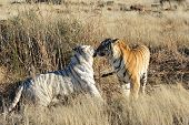 stock photo of tiger eye  - An extremely rare shot of a white tiger and a normal tiger - JPG