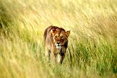 picture of lioness  - A Lioness from the grasslands of Africa - JPG