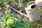 picture of water cabbage  - hand with handshower watering cabbage in garden in summer day - JPG