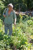 pic of pesticide  - farmer sprays pesticide on potato plantation in garden in summer - JPG