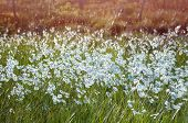 foto of marsh grass  - Landscape with blooming cotton grass in a swamp - JPG