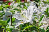 foto of easter lily  - Lilium longiflorum  - JPG