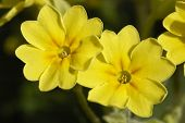 picture of cowslip  - False Oxlip - Primula x polyantha