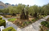 picture of gethsemane  - Old olive trees in the garden of Gethsemane on the mount of olives in Jerusalem - JPG