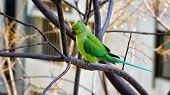 foto of parakeet  - Rose-ringed parakeet is sitting on branch of melia azedarach tree. The picture was taken in winter