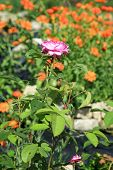 foto of reining  - Blossom of the historic pink rose Reine des Violettes in the summer rustic garden - JPG