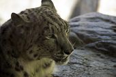 stock photo of snow-leopard  - A snow leopard lying down on a bed of rocks - JPG