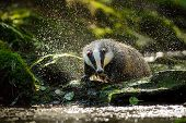 image of badger  - European badger shaking and splashing water drops around - JPG