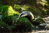 stock photo of badger  - European badger sniffing next to the forest stream - JPG