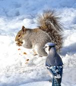 stock photo of blue jay  - Grey Squirrel standing on the snow eating a nut with a Blue Jay watching - JPG