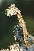 stock photo of small-hawk  - Boreal owl looking up in beautifull backlight fuzzy straws - JPG