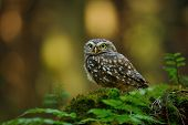 image of small-hawk  - Little owl standing on moss tree stump in the forest - JPG
