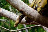 stock photo of jungle snake  - Australian Jungle carpet python amongst the branches of a tree in rainforest in Queensland Australia - JPG
