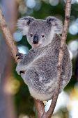 foto of eucalyptus trees  - Baby cub Koala  - JPG