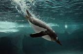pic of hemisphere  - Gentoo Penguin swim underwater in the Arctic ocean  - JPG