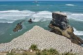 stock photo of gannet  - Muriwai gannet colony in Muriwai Regional Park New Zealand - JPG