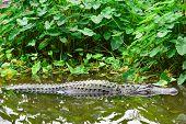 picture of alligator  - Alligator - JPG