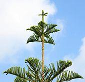 picture of conifers  - Araucaria excelsa - JPG