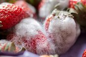 pic of scabs  - Grey-white mould on red fresh ecological strawberries ** Note: Shallow depth of field - JPG