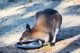 stock photo of tammar wallaby  - Close up shot Par ma wallaby feeding in northern Thailand - JPG