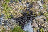 image of decomposition  - Fresh sheep droppings on grass and stones - JPG