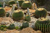 picture of cactus  - Golden Barrel Cactus in a Cactus garden - JPG