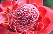 stock photo of torches  - Closeup of Torch Ginger  - JPG