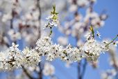 pic of may-flower  - The cherry blossoms in early May - JPG