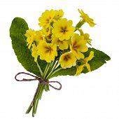stock photo of primrose  - Bouquet of yellow primroses isolated on white background - JPG