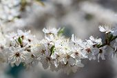 image of may-flower  - The cherry blossoms in early May - JPG