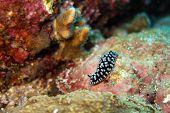 image of hermaphrodite  - Underwater photography of a black nudibranch in ocean  - JPG