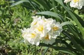 image of narcissi  - The narcissi white bloom in the garden - JPG