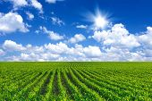 stock photo of corn  - Corn field and blue sky in the summer - JPG