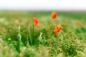 picture of azov  - wild red poppies blooming in a field on the steppes of Azov - JPG