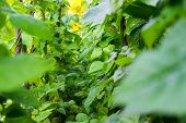 stock photo of phaseolus  - Growing the beans  - JPG