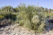 image of bridal veil  - Retama monosperma bridal veil broom a flowering bush in the genus Retama - JPG