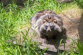 foto of raccoon  - Young raccoon dog  - JPG