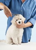 stock photo of poodle  - Poodle grooming at the salon for dogs - JPG