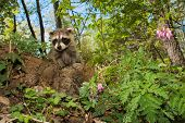 pic of scared baby  - A baby raccoon playing in the garden.